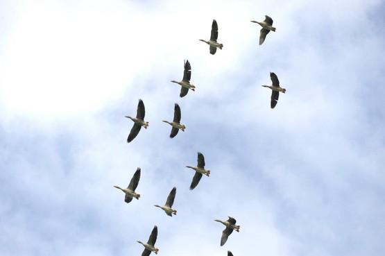 De ganzen blijven komen