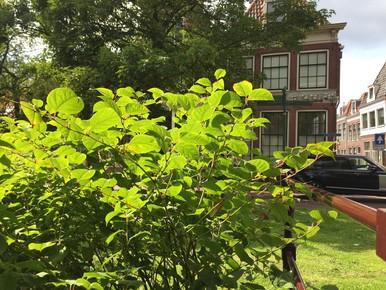 'Japanse plant gevaar voor Hoornse kademuren'