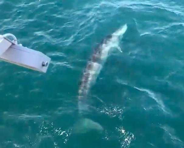 Zeldzame walvis zwemt rond voor kust IJmuiden [video]